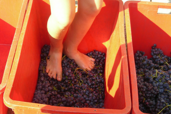 taller pisado uva